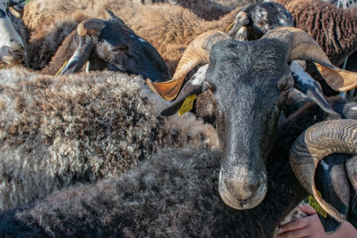 Smotra istarske ovce Svetvinčenat